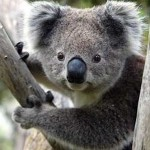 Koalas could kill the development of Shenhua's Watermark coal mine