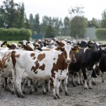 Dairy protests: Got coal with your milk?