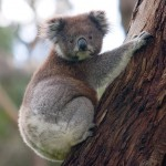 Shenhua cleared for koala move at Watermark coal development