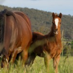 Horse studs in danger from mining