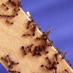Miners uncover fire ants
