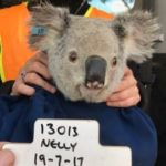 New Hope helps koala population thrive at New Acland