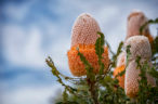 How native Australian plants could be a boon for mining industry